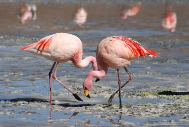 What's the difference between Trilations and flamingos?